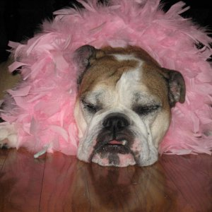Frankie got a little sister (a human baby girl) in November. We dressed her in a pink boa for the baby shower...you can see she was not impressed :-)