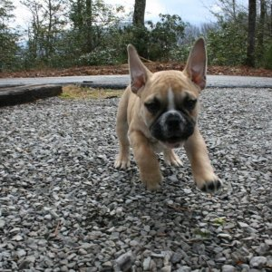Xerxes running to the camera, also in Gatlinburg! lol