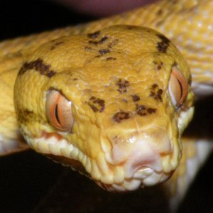 male yellow phase amazon tree boa