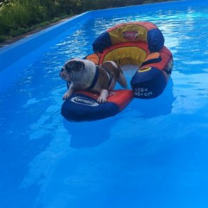 Bulldogs can't swim, but they sure can float!