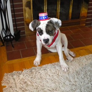 4th of july puppy! 6mo.