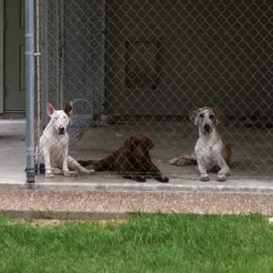Jojo hanging out with the girlz.  Amber (Champion Retriever Choc Lab) and Gwynn (Great Dane).