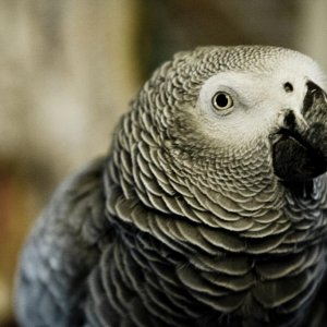Tesla - Our African Grey