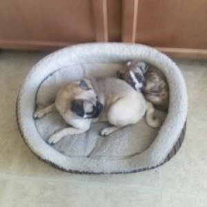 "First day home, Lucy ""the pug"" finally gets along with another dog, notice how small Roxy is.  They are now crated together."