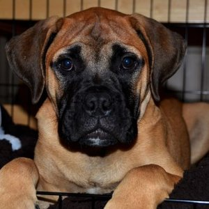 Our fabulous 14 week old Bullmastiff puppy, Oscar